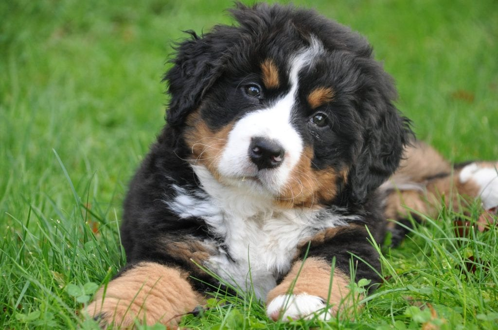 bernese-mountain-dog-1177074_1920